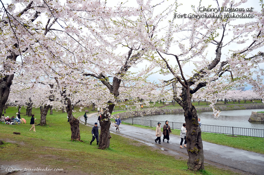 cherry blossoms blooming season 2014